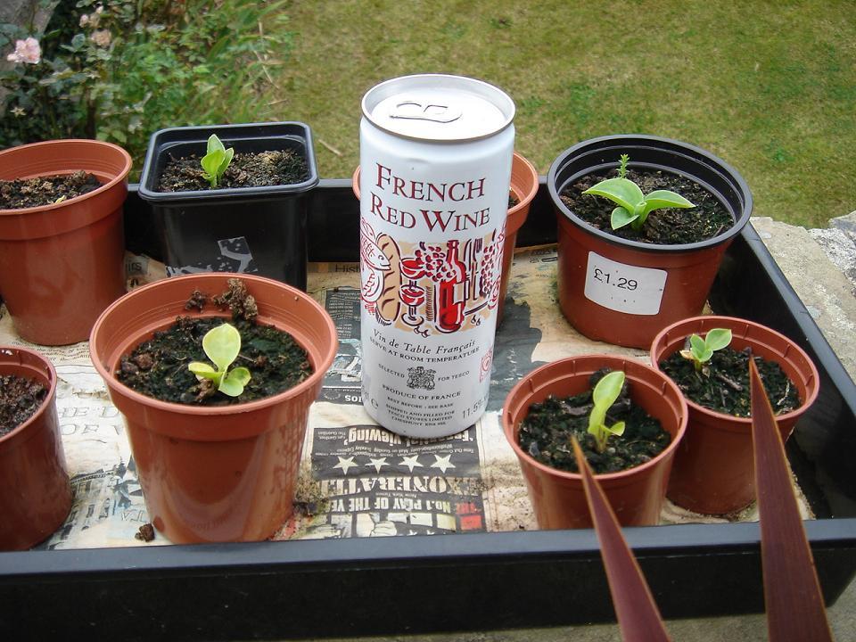Can of red wine…and some seedling hostas for some reason